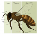 Bee Anatomy