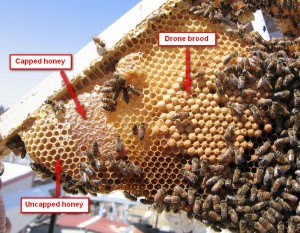 How to identify drone brood