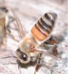Honeybee exposes her Nasonov gland