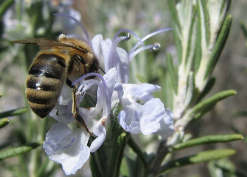 Honeybee and rosemary