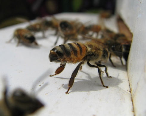 Bee exposing and fanning her Nasonov Gland to release an orienting pheromone