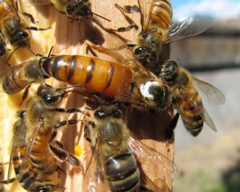 Queen of the Polski Hive