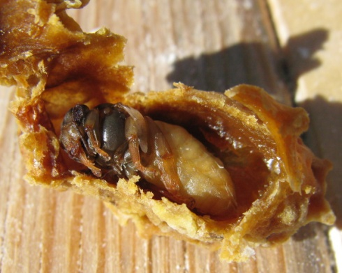 Queen bee pupa
