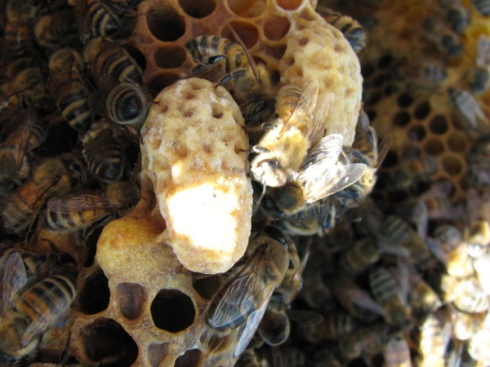 2 capped swarm cells, built on the edge of the comb