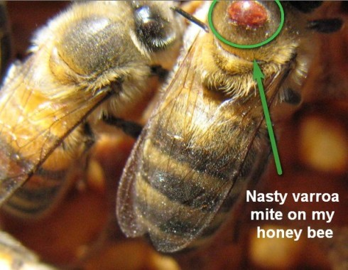 Nasty little varroa parasite on my bee