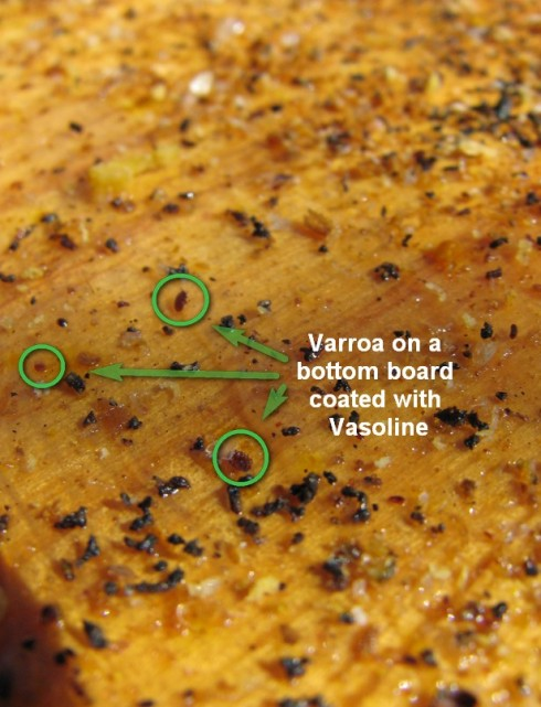 Counting varroa on your sticky board