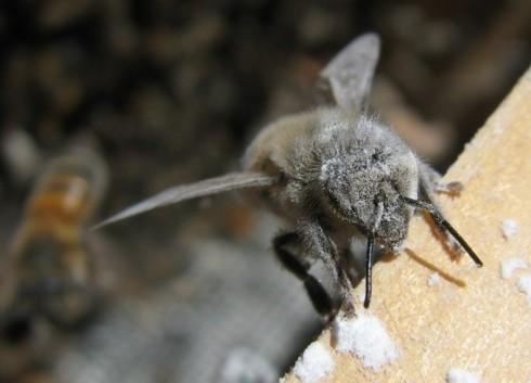 Honey bee coated in powdered sugar