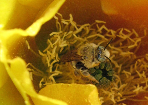 One very blissed-out cactus bee