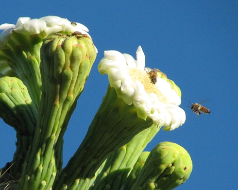 Daylight pollination of the saguaro cactus