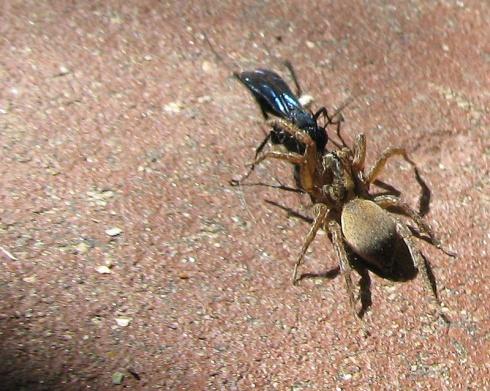 Wasp vs. Spider
