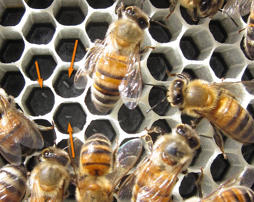 queen bee laying eggs - photo #5