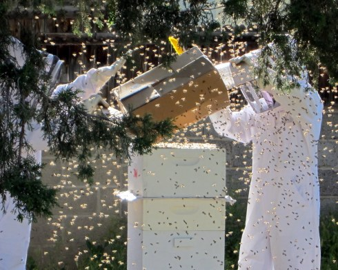 Shaking bees into a hive