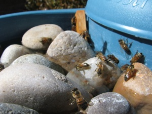 Watering your bees
