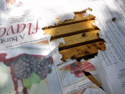 Day 3: Hives have chewed through the paper and combined, hopefully painlessly.